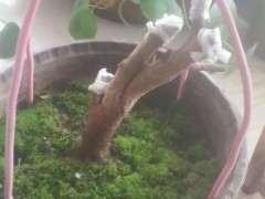 下山桩生桩怎么用生根粉浸泡根部的方法
