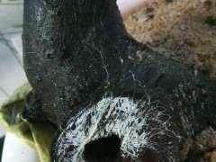 火棘下山桩生桩缠膜养 为什么不发芽