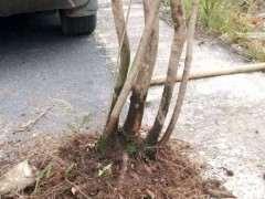 乌饭树下山桩生桩埋土过冬 来芽了
