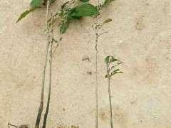 老鸦柿下山桩生桩怎么拿弯的方法