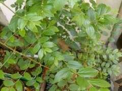 朴树下山桩生桩来芽后 叶片有白色虫