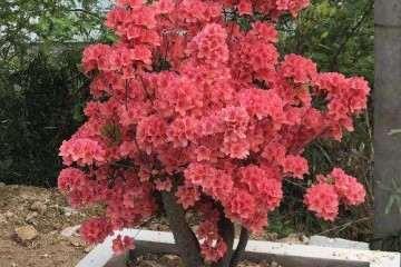 今年的映山红盆景已经大量的开花啦