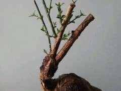 迎春下山桩发芽后枝条不长 怎么办