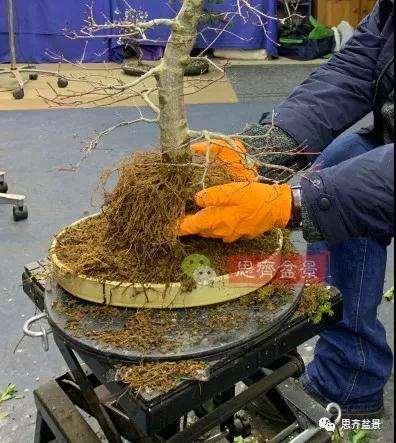 红枫盆景怎么用高压制作的方法