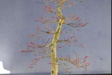 图解 红枫盆景怎么用高压制作的方法