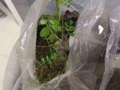 清香木下山桩生桩活了没有 全是绿芽