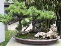 松树下山桩怎样栽提高成活率