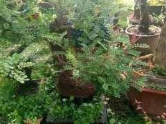 春季清香木下山桩怎么栽培的方法