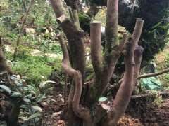 野生山茶下山桩怎么栽能长根 图片