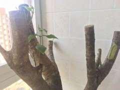 阳台桂花下山桩树桩 怎么才能发芽