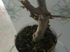 树桩下山桩用生根粉兑水泡一下 发芽很快