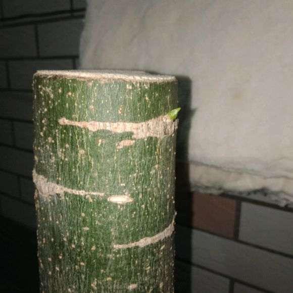 树桩下山桩倒立栽种两天之后