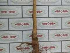 种下山桩是用生根粉吗 图片