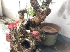 450元买的紫薇下山桩树桩 贵吗