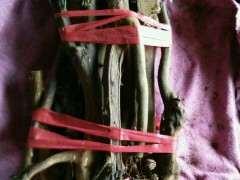 金豆下山桩怎么做好缠膜保湿 图片