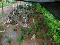 为什么老鸦柿下山桩成活率可以百分之百