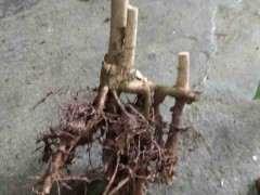 桂花下山桩遮阳时 别缺水就可以发芽