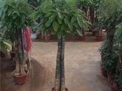 我的发财树下山桩种了5个月了 没有长根