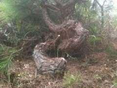 为什么养护松树下山桩要多喷水 图片