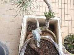 松树下山桩一般种下多久才可确认成活