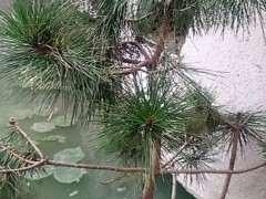 我的松树下山桩不茂盛怎么回事