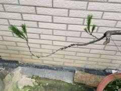 三月份栽的 松树下山桩还能发新枝吗