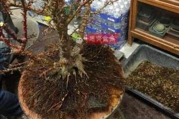 图解 红枫盆景怎么磐根的方法