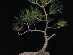 松树下山桩多长时间没死就算成活了