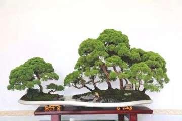 北京真柏盆景摘得国家级奖项