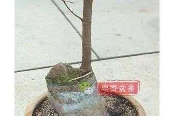 图解 榆树下山桩怎么制作抱石盆景