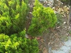 绿化带上的这种是什么松树下山桩啊