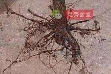 图解 山楂盆景怎么穿接补根的方法