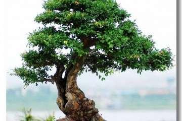 榔榆盆景怎么栽种与翻盆的方法