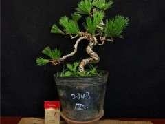 松树下山桩正常几月份下山比较能种活