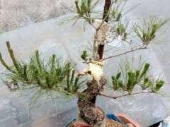 松树下山桩上长虫子 该用什么药 图片