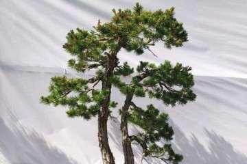 图解 多杆松树盆景怎么造型培育的方法