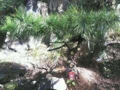 给松树下山桩灌根硫酸亚铁会不会烧根