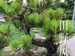 松树下山桩怎么造型 有什么注意事项