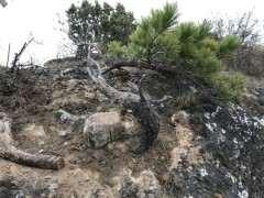 去年断了根的松树下山桩还活着 图片