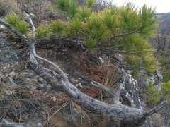 甘肃山上发现的松树下山桩 大家看看如何