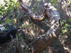 发现了一个奇怪的松树下山桩 像蛇一样