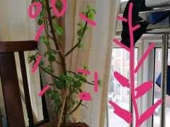 春天栽的一颗松树下山桩只开花 没发芽