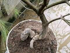 这个普通松树能嫁接其他松树下山桩吗