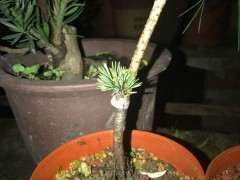 为什么栽种松树下山桩扎根很难 图片