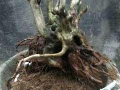 有没有适合广东种植的松树下山桩 图片