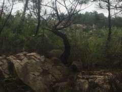 石缝的山松下山桩可以带土移植吗 图片