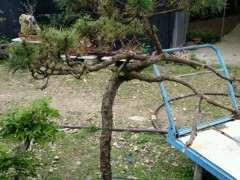 求推荐适合家养的松树下山桩 图片