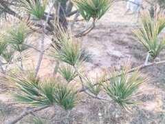 松树下山桩的黄针是什么原因引起的 图片