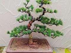 网上买了棵松树下山桩 该怎么养 图片