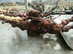 松树下山桩的根瘤 才下山 冲洗干净了